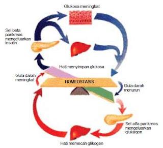 Fungsi Kelenjar Pencernaan, Hati, Empedu, dan Pankreas Dalam Sistem Pencernaan Manusia