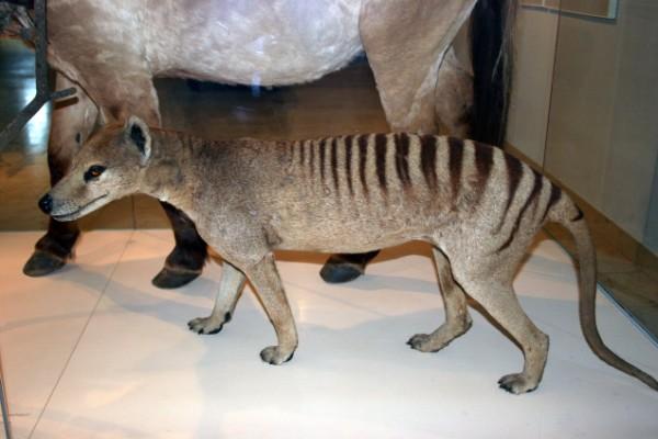 BABIES and Beautiful Mom: Baby Thylacine