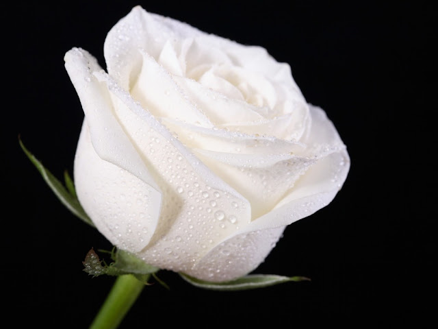 White Rose Beautiful HD Wallpapers Free Download