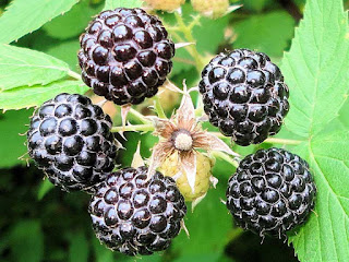 black raspberry fruit images