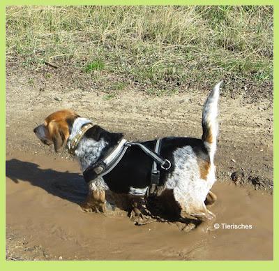 Beagle Emma genießt das Schlammbad