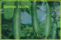 sponge gourd seed in ahmedabad