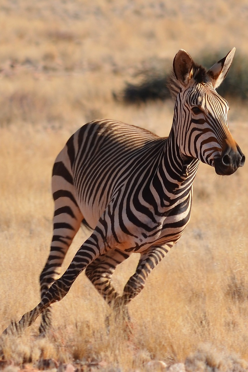 Picture of a zebra running.