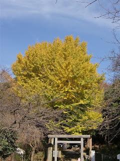 葛原岡神社のイチョウの黄葉