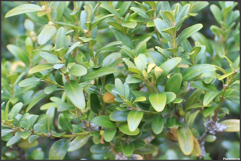 Hojas verdes de boj
