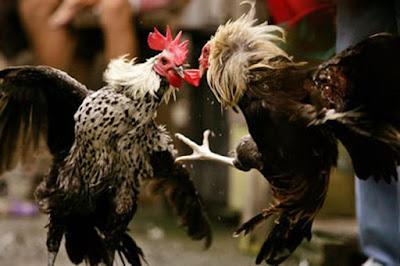Adu Sabung Ayam Jantan