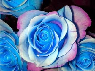 gambar bunga mawar indah 22