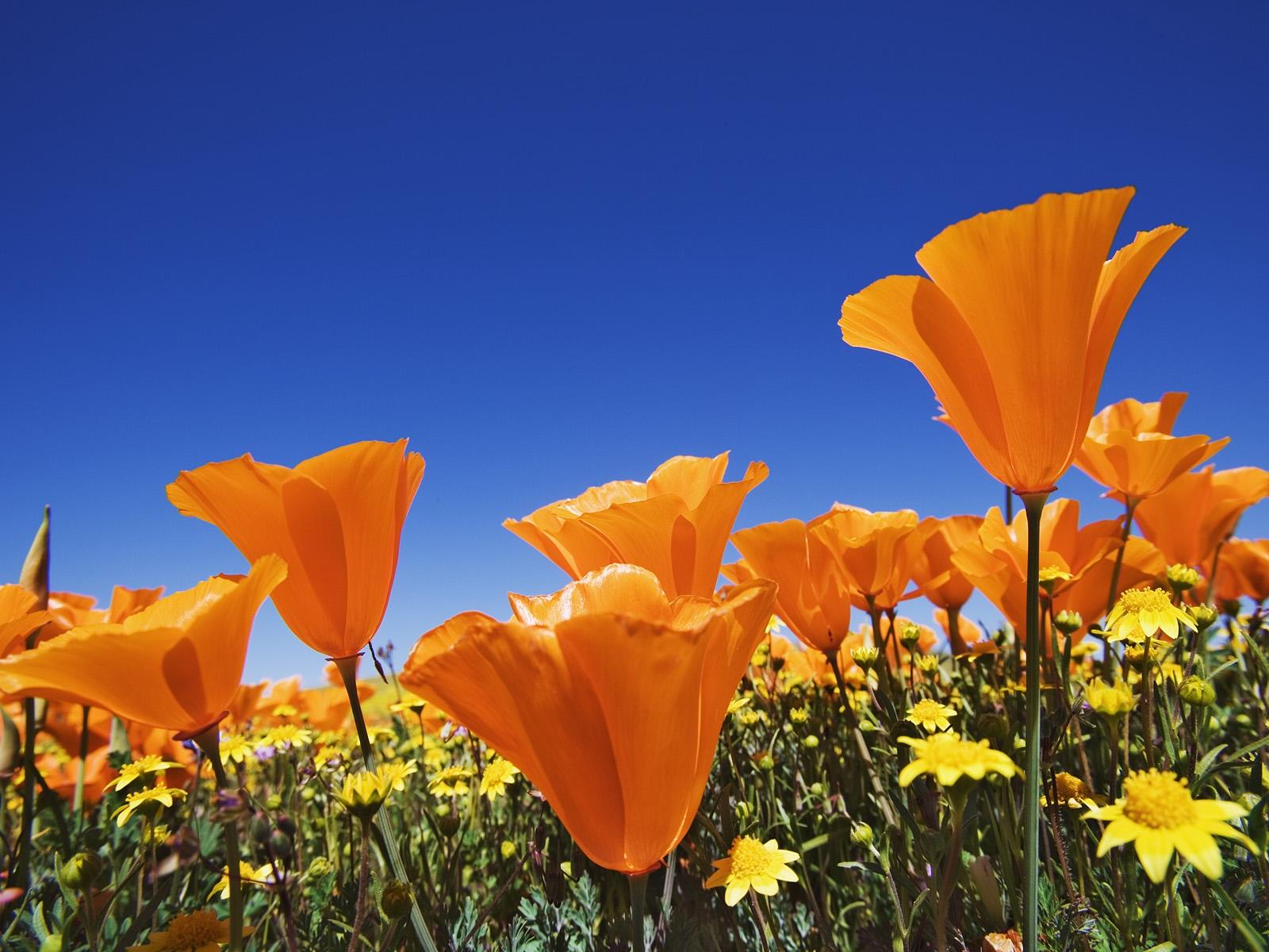 Poppy Wallpaper For Iphone Foto Indahnya Pemandangan Alam