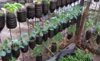 Cara Menanam Sayuran di Botol Aqua Bekas di Pekarangan Rumah