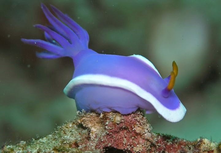 The blue form of Hypselodoris bullockii