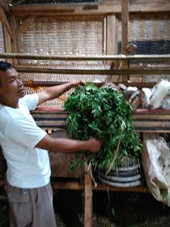indigofera dimanfaatkan sebagai pakan ternak kambing maupun sapi