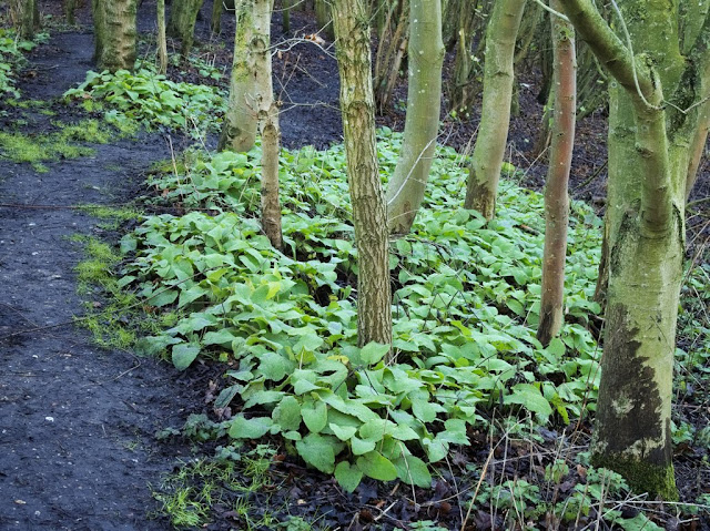 Large patch of comfrey at base of trees