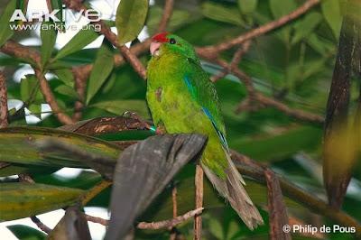 Perico de Nueva Caledonia: Cyanoramphus saisseti