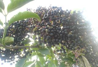 Fructe de soc coapte retete,