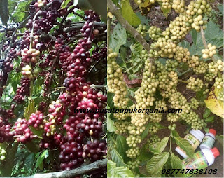proyek pengadaan pupuk kopi, tender pengadaan pupuk kopi, pengadaan pupuk 2017, pengadaan pupuk sawit, pengadaan pupuk kakao
