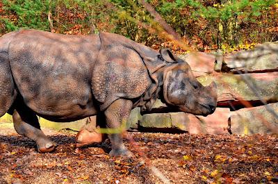 Nashorn, Rhino , носорог, rhinocéros, rinoceronte,  サイ犀牛,kõlisev münt, rhinocéros, srónbheannach, rinoceronte, Rinoceront, nosorog, degunradzis, raganosis,