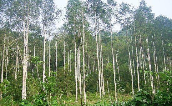 gỗ-dổi