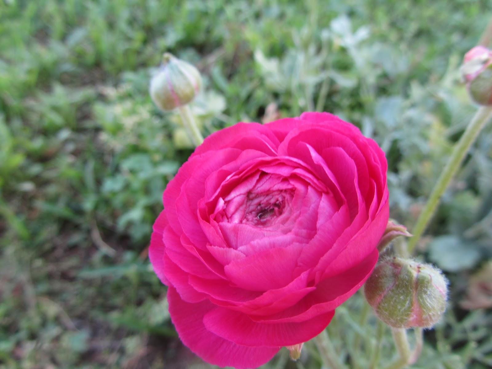 Come coltivare i bulbi dei ranuncoli quando fioriscono - Bulbi estivi quando piantarli ...
