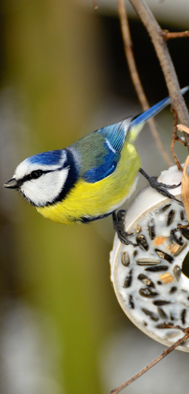 Blue tit on a round ring.