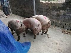 Giá heo (lợn) hơi hôm nay 17/3: Thị trường vẫn tiếp tục những ngày ảm đạm