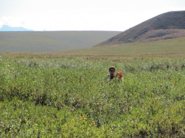 Shifting tundra vegetation spells change for Arctic animals