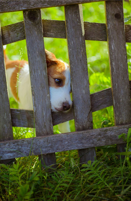 A little dog peers out of a fence - and study shows a physical fence is the best way to confine your dog as more dogs escape from electronic fences