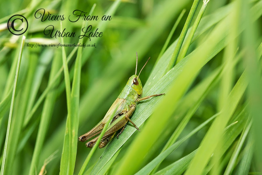Grass Hopper - Loughton Valley Park, Milton Keynes