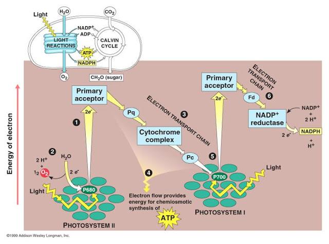 Perbedaan antara Anabolisme dengan Katabolisme