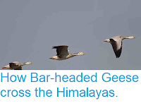 http://sciencythoughts.blogspot.co.uk/2012/11/how-bar-headed-geese-cross-himalayas.html