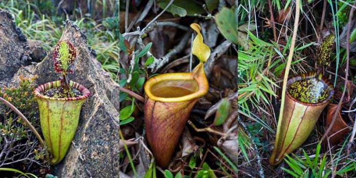 Attenborough's Pitcher Plant | Garden Bible