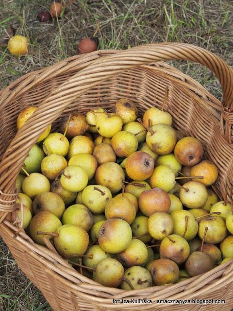 gruszki, dzikie gruszeczki, ulegalki, owoce, podlaskie, podlaska grusza