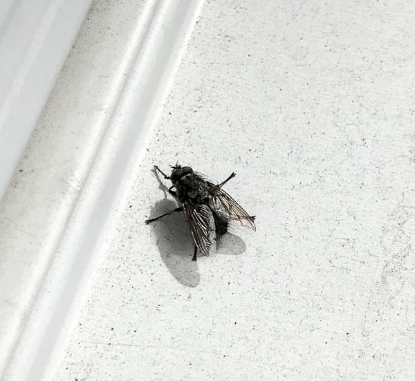 fluga, fly