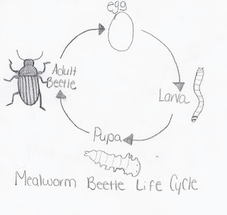 Crickets and Mealworms: Life Cycle of a mealworms