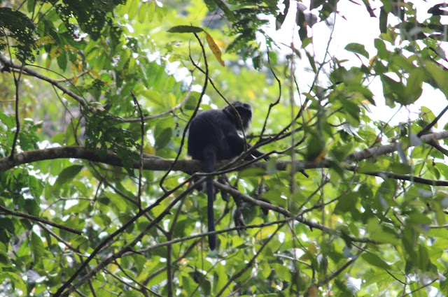 Habitat Monyet Lutung Hitam