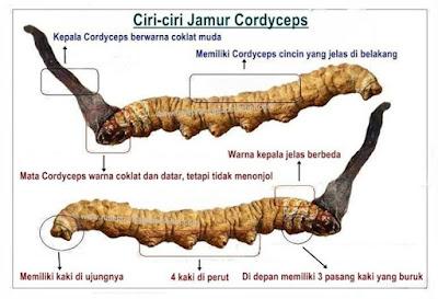 Cegah dan Obati Stroke Dengan Jamur Cordyceps