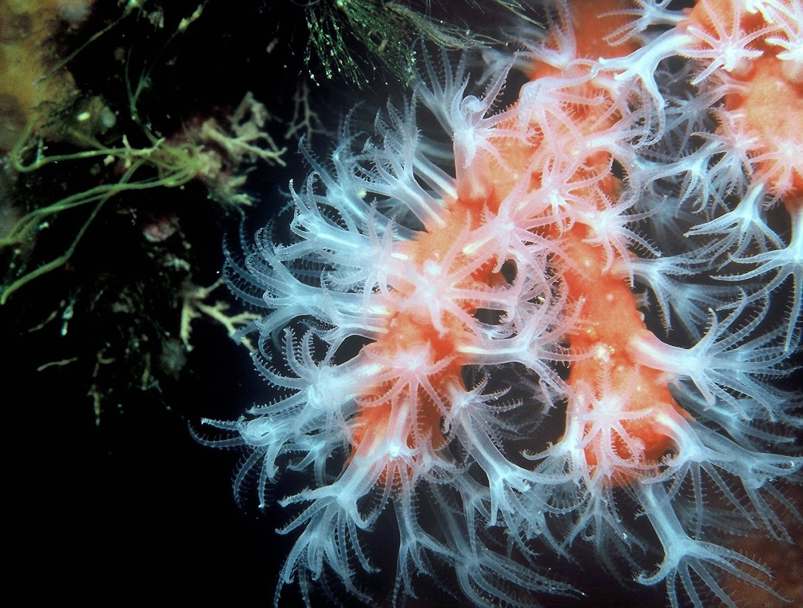 Picture of coral marine polyps at the bottom of the ocean.