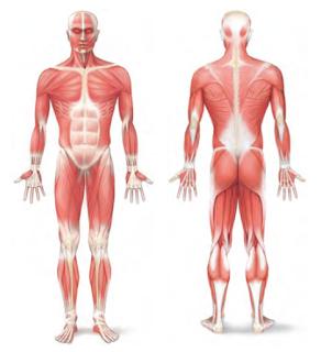 Pengertian, Jenis, dan Fungsi Otot pada Tubuh Manusia