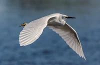 Little Egret - Birds In Flight Photography: Canon EOS 7D Mark II Gallery