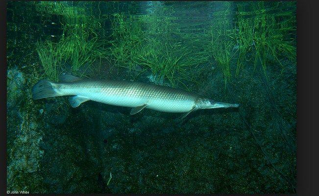 ikan aligator terbesar