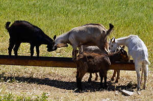 Goats 06