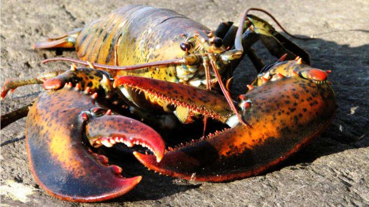 Dunia Gempar oleh Penemuan Lobster Berlogo Pepsi