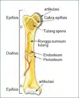 adalah organ penting yang menunjang sistem gerak manusia Bentuk-Bentuk Tulang, Gambar, dan Keterangannya