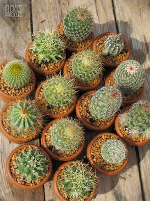 Cacti wedding favours in terracotta pots.