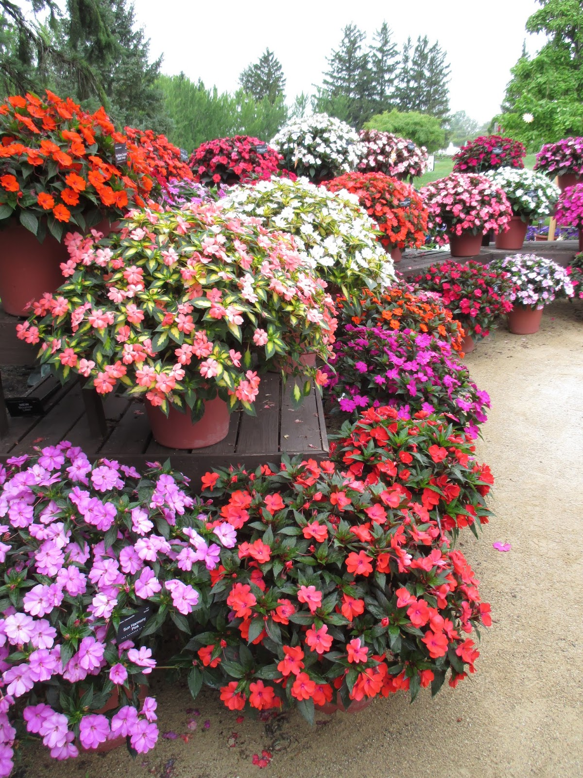 SunPatiens - The Real Deal - Rotary Botanical Gardens