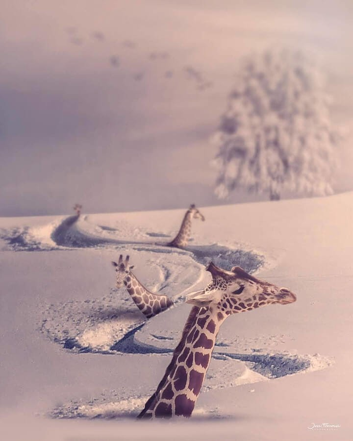 04-Giraffes-off-piste-Jose-Francese-www-designstack-co