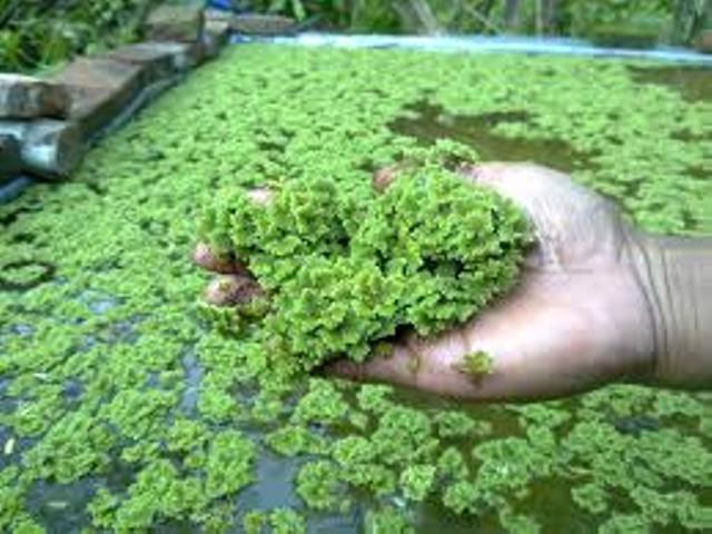 Azolla Microphylla memiliki kandungan protein tinggi