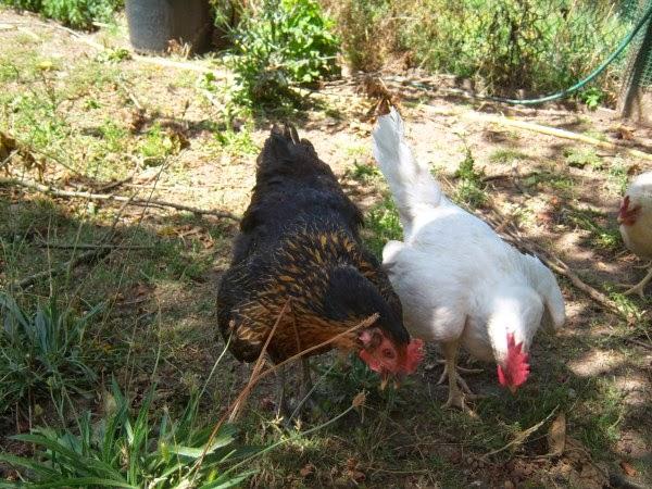 Alas despegadas del cuerpo y boca abierta, señales inequivocas de que la gallina está pasando mucho calor.