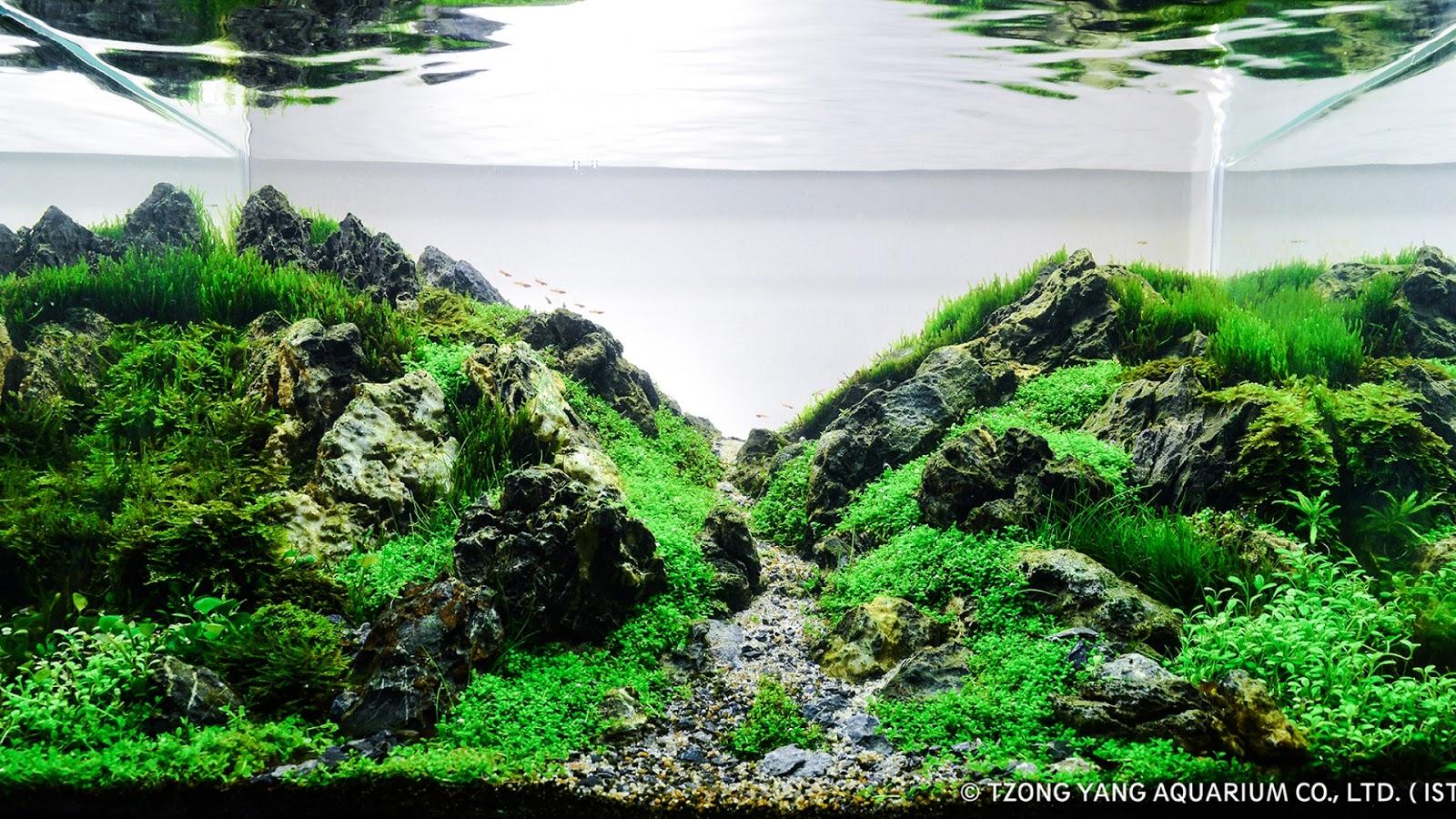 Rêu lửa tạo hiệu ứng như những tán cây ở xa trong hồ thủy sinh