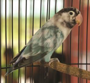 ciri ciri lovebird blorok