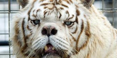 No entanto, a maioria dos tigres brancos agora são criações de cativeiro, através de casamentos mistos, para garantir a presença do gene da brancura.  Contudo, essa combinação forçada pode levar a defeitos de nascimento,  tais como: fenda palatina, escoliose (curvatura da coluna vertebral) e estrabismo.
